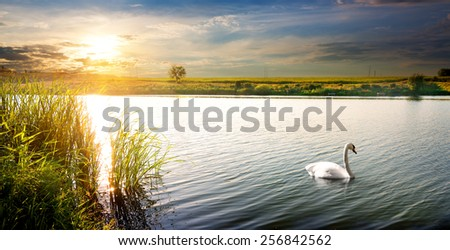 White swan on a river at sunset - stock photo