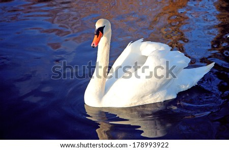 white swan on inky blue water - stock photo