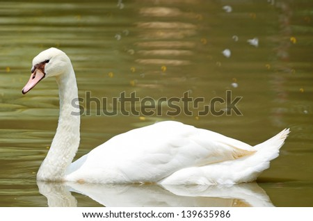 White Swan on the river - stock photo