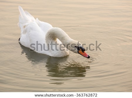 White swan on the water. - stock photo