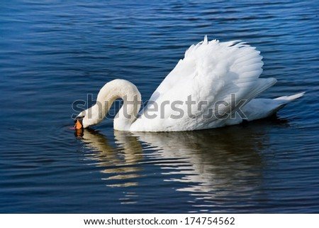 White swan or Cygnus olor searching for food