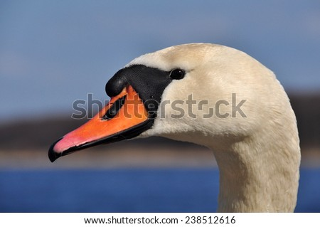 white Swan portrait. Swans, genus Cygnus, are birds of the family Anatidae, which also includes geese and ducks.The Northern Hemisphere species of swan have pure white plumage.  - stock photo