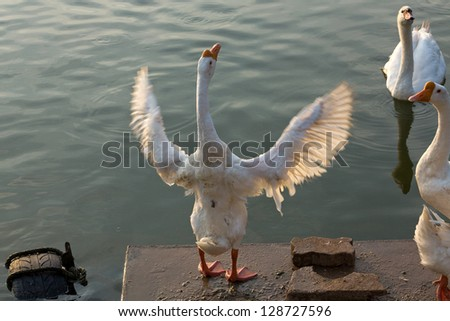 White Swan shows. - stock photo