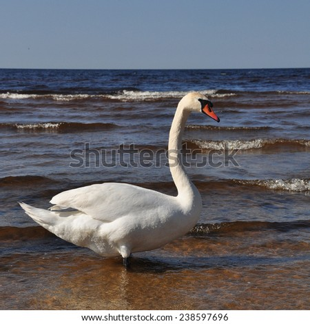 White Swan swimming at sea. Swans, genus Cygnus, are birds of the family Anatidae, which also includes geese and ducks.The Northern Hemisphere species of swan have pure white plumage.  - stock photo