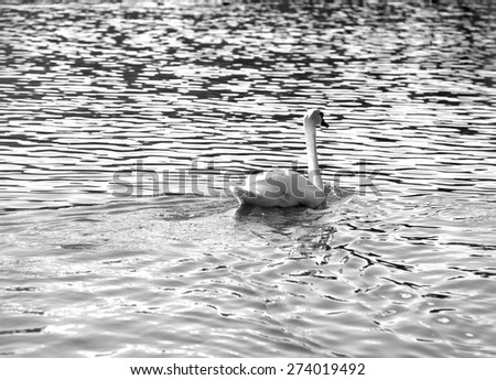 White Swan swimming in the water black and white - stock photo