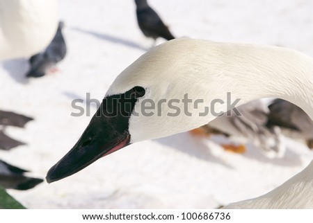 white swans bird - stock photo