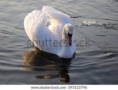 white swans - Cygnus - stock photo