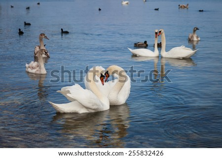 White swans floating on the water - stock photo