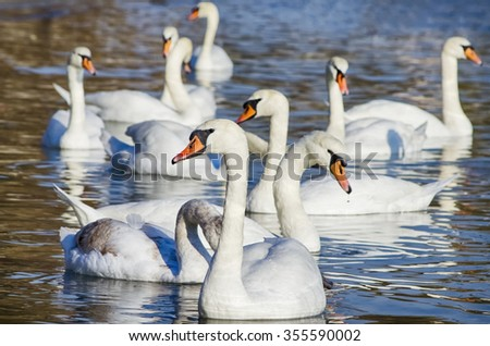 White Swans in Blue Water, Sunny day - stock photo