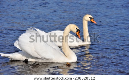 white swans in love - stock photo