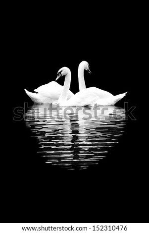 White swans on the black background - stock photo
