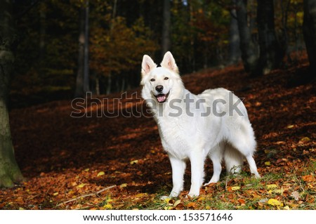 White Swiss Shepherd - stock photo