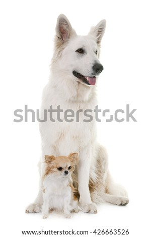 White Swiss Shepherd Dog and chihuahua in front of white background - stock photo