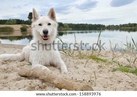 White Swiss Shepherd Dog relaxing at the lake - stock photo