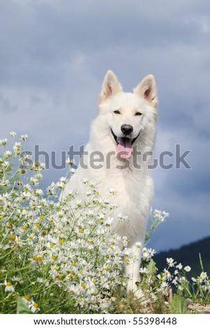 WHITE SWISS SHEPHERD DOG  Weisser Schweizer Schaeferhund  Berger Blanc Suisse - stock photo