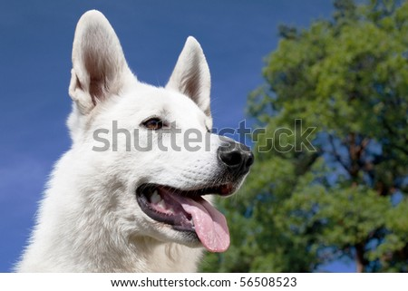 White Swiss Shepherd portrait over blue sky background
