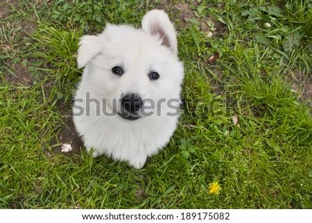 White Swiss Shepherd puppy looking up - stock photo