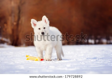 White Swiss Shepherd puppy on a winter walk - stock photo