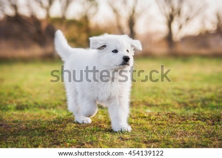 White swiss shepherd puppy walking in the yard