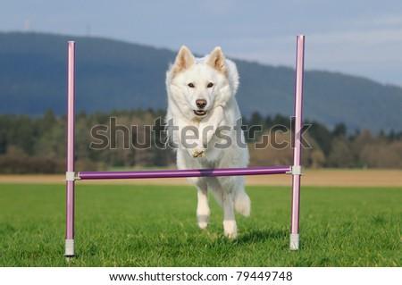 White Swiss Shepherd 9 years old jumps agility outdoor Weisser Schweizer Schäferhund Berger Blanc Suisse - stock photo
