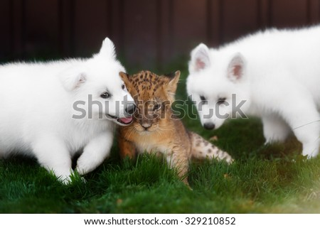 White Swiss Shepherds puppy play and kiss with lion cub - stock photo