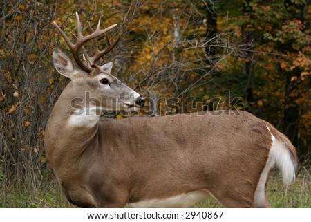 White Tail Deer Buck - stock photo