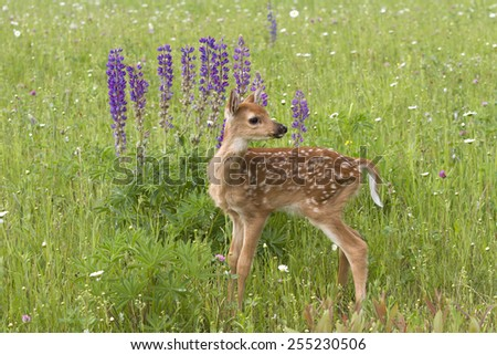White tail Deer Fawn Looking Over Its Shoulder with Purple Flowers in Background - stock photo