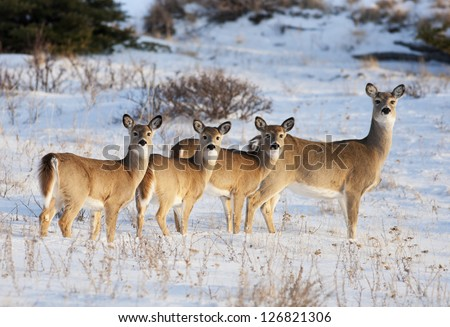 White Tail Deer, in early evening light, in the Cypress Hills, Alberta, Canada.  Mother and three babies. - stock photo