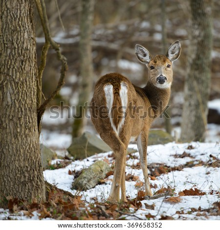 White tail deer in Winter forest  - stock photo