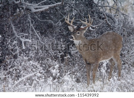 White tailed Buck Deer in winter snow blizzard, Adirondack Mountains, New York deer hunting season - stock photo