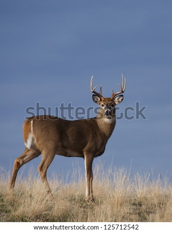White-tailed buck deer stag in prairie grass against a natural blue background Whitetail deer hunting the western US: South Dakota North Dakota Montana Wyoming Idaho Colorado Nebraska Kansas - stock photo