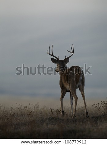 White tailed buck walking into the prairie, with fore hoof raised - stock photo
