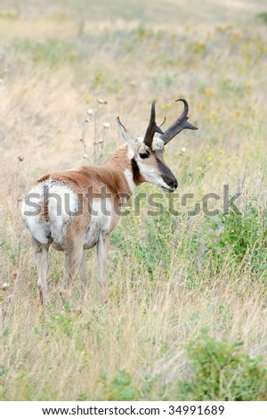 White Tailed Deer - stock photo