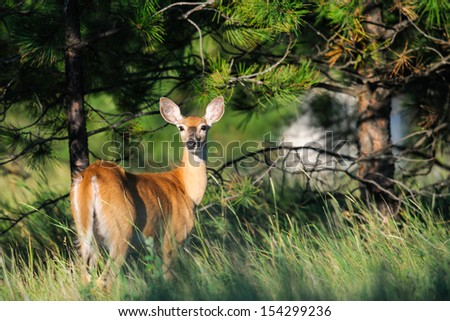 White-tailed deer alert to danger on the forests edge - stock photo