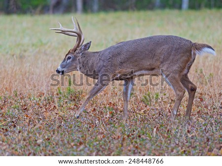 White tailed deer at Cades Cove. - stock photo