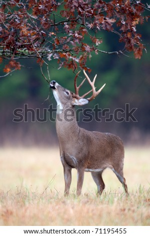 White-tailed deer buck chewing on branches and marking scent as part of rut behavior - stock photo