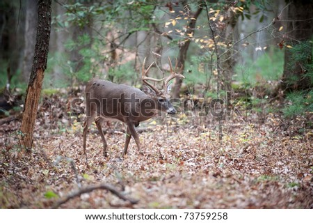 White-tailed deer buck walking through the woods - stock photo
