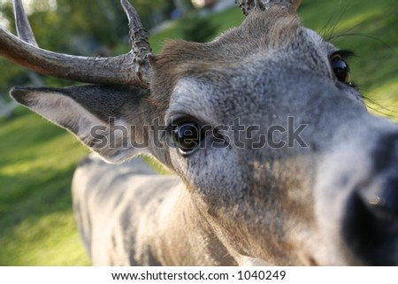 White Tailed Deer Closeup - stock photo