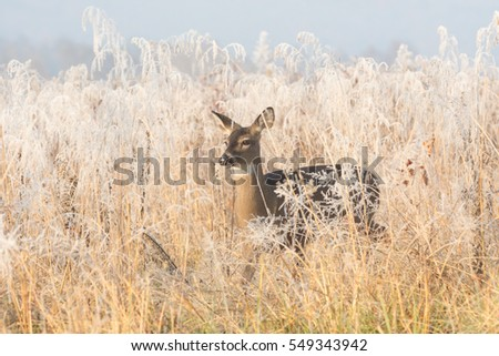 White-tailed deer doe in a frost covered meadow in Smoky Mountain National Park, Tennessee