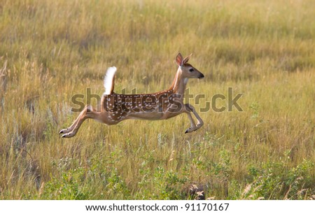 White tailed Deer fawn leaping in field - stock photo