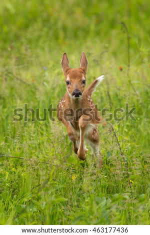 White-Tailed Deer Fawn (Odocoileus virginianus) Runs Forward - captive animal