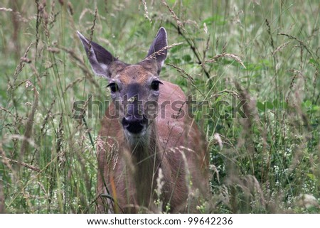 white tailed deer - Great Smoky Mountains National park - stock photo