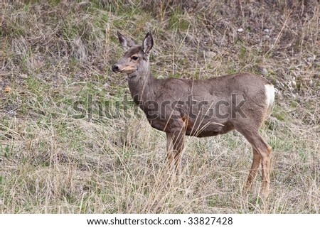 White-tailed deer in Banff National Park, Alberta, Canada - stock photo