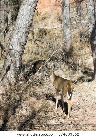 White-tailed deer in the   Palo Duro Canyon State Park, Texas, USA - stock photo