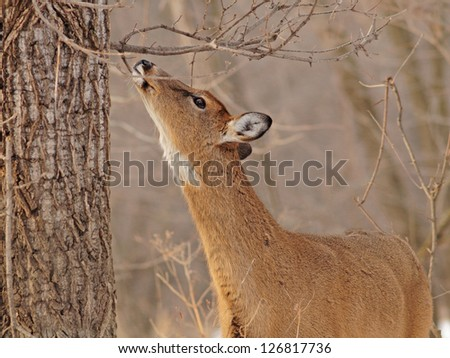 White-tailed deer munching on twigs of tree in the winter woods - stock photo