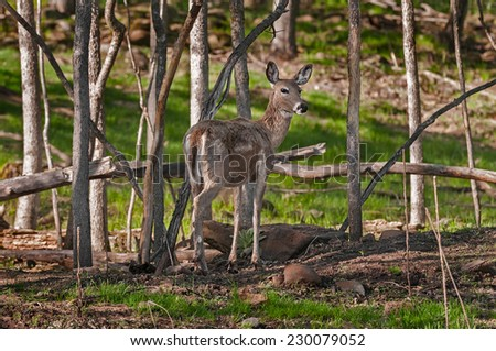 White-Tailed Deer (Odocoileus virginianus) Stands Amongst Trees - captive animal - stock photo