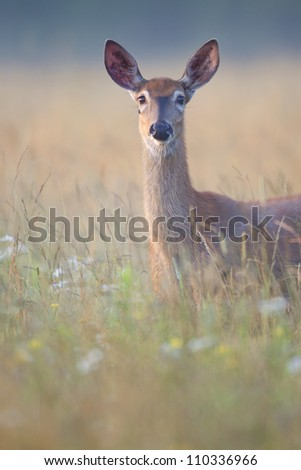 White-tailed deer vertical. - stock photo