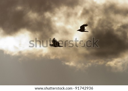 White-tailed Eagle and a Raven flying in the sky