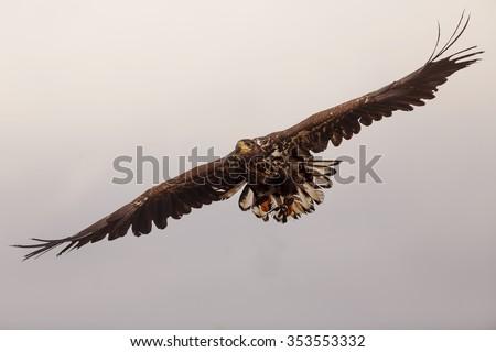 White-tailed eagle flying - stock photo