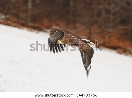 White-tailed Eagle flying over a winter meadow covered by snow with distant winter forest and landscape in background. - stock photo